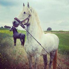 Barb horses
