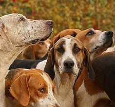 English Foxhound, via Flickr.