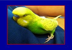 Bird cuddles up and talks himself to sleep - lol my bird did that but this one says SO many things!