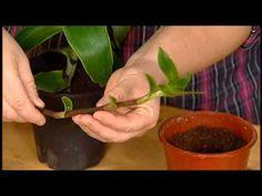 Kalisie voňavá – (Callisia fragrans) |