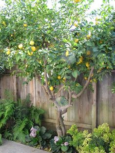 Lemon tree...would love to live somewhere warm so I could have one of these in my backyard.
