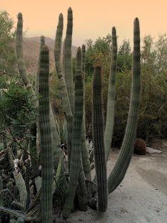 "Walk In Cactus Garden In Sepia Gradient Photograph by Colleen Cornelius - on ""Fine Art America"" -- #bmecountdown"