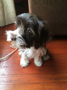 Schnocker Puppy (Cocker Spaniel/Mini Schnauzer)