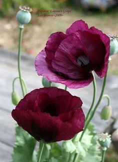 Full size picture of Opium Poppy, Breadseed Poppy, Lettuce Leaf Poppy 'Lauren's Grape' (Papaver somniferum), Valmue Flower Pictures, Flower Images, Flower Ideas, Trees To Plant, Flower Power, Planting Flowers, Beautiful Flowers, Bloom, Bouquet Flowers
