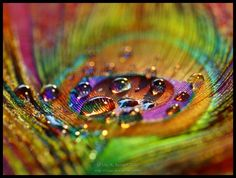 Dew drops on a peacock feather