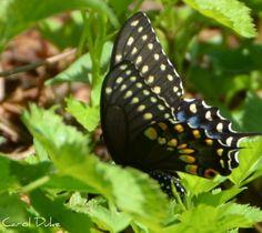 Raising Eastern Black Swallowtail Caterpillars