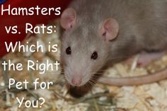 Which is the Right Pet for You? #hamsters #rats #pets Hamsters, Rats, Pet Care, Animals, Animales, Animaux, Animal, Animais
