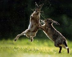 bunny fight