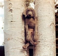 """""""I don't know how I keep getting into these predicaments.""""  Photo by William Wegman"""