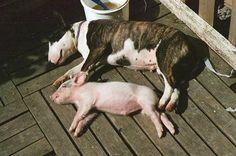 Pork Bully. ºᴥº