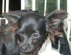 LEWIS   Type : Chihuahua Sexe : Mâle Age : Junior Couleur : Noir  Taille : Petit Lieu : Vaucluse - 84 (Provence-Alpes-Côte d'Azur)  Refuge :  Les P'tits loups(Vaucluse)  Tél : 06 64 81 61 88               LEWIS, mâle chihuahua noir à poils longs.  Invendu d'élevage  Petit chiot gentil et très calme qui ne demande qu'à être chouchouté!  En famille d'accueil dans le Vaucluse.