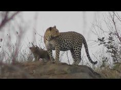 Leopard mum meet with her two beautiful cubs early morning. Kruger Nati... Kruger National Park, National Parks, Cubs W, Early Morning, Meet, Animals, Beautiful, Animales, Animaux