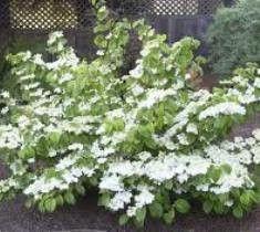 Summer Snowflake Viburnum plicatum