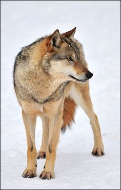 this might be a wolf but idc cuz it's soo cute!