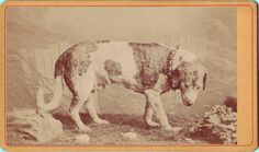 ca. 1870-90s, [carte de visite portrait of 'Barry,' a St Bernard dog who lived at a monastery in the Swiss Alps, mounted and preserved], Emil Nicola Karlen [Barry] became famous for the number of lives he had saved, over forty, his legend being promoted in the English-speaking world in order to increase tourism. Barry remained at the monastery until his death at the age of fourteen, when he was mounted and put on exhibition at the Natural History Museum in Berne. In an attempt to recall his…