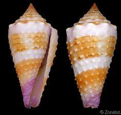 Lividoconus floridulus  Adams, A. & L.A. Reeve, 1848   -  Philippines; Gulf of Papua
