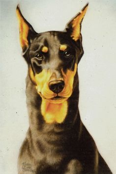 Beautiful Doberman Portrait.