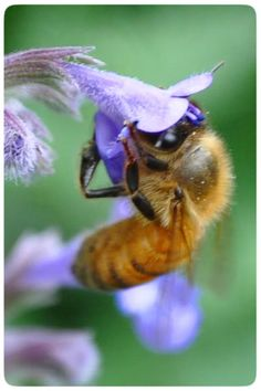 Bee grips a tiny catmint flower, Johanna's garden. Bees love catmint, Borage, clover (of course), Bee balm (Monarda), and many other flowers that you can easily grow in your garden or patio containers. Give Bees a Chance!