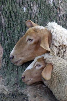 Sheep and lamb.remembering our Passover Lamb as we near Easter. Sheep Farm, Sheep And Lamb, Baby Sheep, Farm Animals, Animals And Pets, Cute Animals, Alpacas, Beautiful Creatures, Animals Beautiful