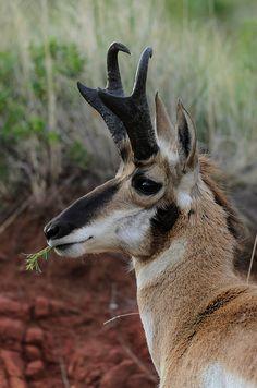 Pronghorn antelope enjoying a tasty snack. Unusual Animals, Rare Animals, Beautiful Creatures, Animals Beautiful, Antelope Hunting, Animals With Horns, North American Animals, Musk Ox, Deer Family
