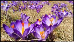 krokusy-w-Dolinie-Chocholowskiej Tatra Mountains, Poland, crocuses, Zakopane, National Park, spring, wiosna , góry, kwiaty , flowers #Tatry #Tatra #Mountains #Poland #Polska #krokusy #crocuses #krokus #wiosna #spring #krajobrazy #góry #flower #kwiaty #flowers #Zakopane #Dolina #Chochołowska #landscape #photography