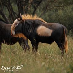 Spotlight King Wildebeest - Dries Visser