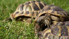 I consigli per allevare una tartaruga di terra in giardino: il terrario ha i suoi vantaggi ma è meglio lasciare la tartaruga di terra in uno spazio all'aperto.
