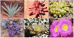 Various species of Calandrinia.