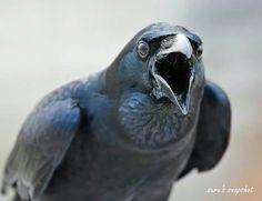 Crow - Mumbai