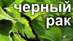 Бактериальный рак.Лечение черного рака плодовых деревьев.