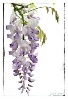 Mother Nature and the Flower Fairies have been busy in my garden making the flowers grow. Image source Wisteria in my garden.