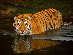 According to the World Wildlife Fund the biggest success of the summit was the promise of providing new funds of nearly 127 million dollars to support the Global Tiger Recovery plan.
