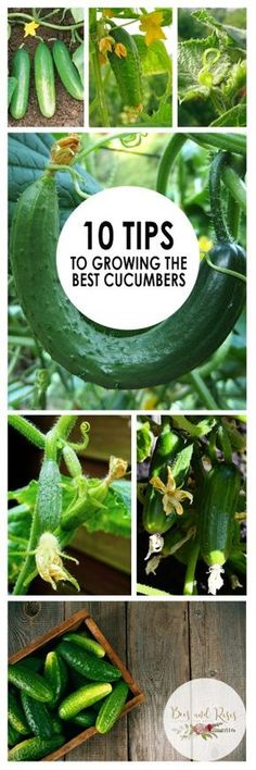 10 Tips To Growing The Best Cucumbers