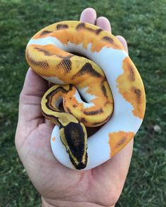 Omg I love this little snek. Les Reptiles, Cute Reptiles, Reptiles And Amphibians, Pretty Snakes, Beautiful Snakes, Animals And Pets, Baby Animals, Cute Animals, Beautiful Creatures