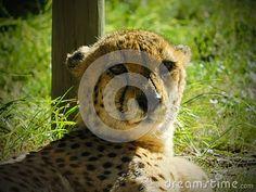 A view of a Cheetah lying and watching in the afternoon after eating. Elephant Images, African Animals, Zebras, Cheetah, Giraffe, Teddy Bear, Felt Giraffe, Giraffes, Teddy Bears
