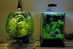 xenxes's Fluval Spec 2g / Vase 2g - Twin Betta Tanks - Page 4 - The Planted Tank Forum