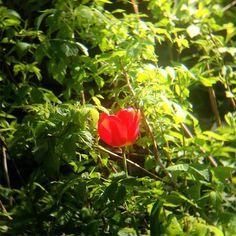 #nofilter #flower #tulip #spring #red #redflower #redflowers #tulips #garden #sunday #sunny #shotoniphone #noedit #shotoniphone5s #shotoniphone #naturephotography #nature #beautifulnature
