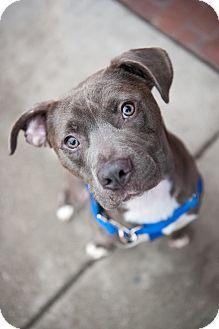 Villa Park, IL - Staffordshire Bull Terrier/Pit Bull Terrier Mix. Meet Luke, a dog for adoption. http://www.adoptapet.com/pet/14128169-villa-park-illinois-staffordshire-bull-terrier-mix