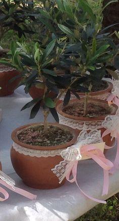Bomboniera con pianta d'ulivo