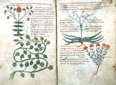 oakapples:  A double-page spread from one of the two 11th-century Ps. Apuleius Herbals held at Oxford. They are copies of a 5th-century work known as the Herbarium Apuleii Platonici. This spread shows opium poppy, dropwort, poet's daffodil, and felty germander.