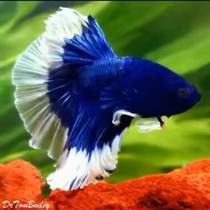 Betta cobalt and white