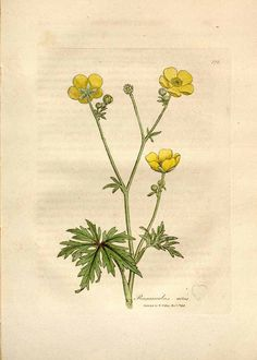 81471 Ranunculus acris L. / Woodville, W., Hooker, W.J., Spratt, G., Medical Botany, 3th edition, vol. 3: t. 172 (1832)