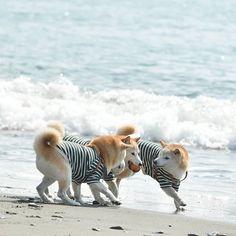 . . みかん争奪戦が はじまったはじまった . . . . . . #なかよし兄妹 #shiba_snap #west_dog_japan #7pets_1day #IGersJP #bestfriends_dogs #superdog_world #ふわもこ部 #shibadog #toyota_dog #todayswanko #柴犬 #peco犬部 #instagramjapan #広がり同盟 #shibastagram #igworldclub_pets #meowvswoof #わんぱく部 #bestanimalpics #whim_life #shibamania #9vaga_lovelydogs9 #pets_of_our_world #shibainu #Excellent_Dogs #petoftoday #total_dogs #9Vaga_CatsDogs9 #カメラ女子 #Regram via @mizu816