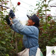 Remember: Behind every bouquet of #flowers, there is a person. Will you support them? #FairTrade #roses #supplychain #ecuador #flowerworkers