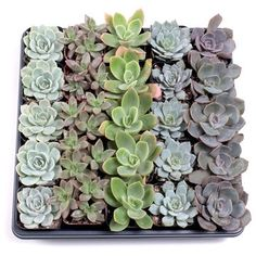 Shop for MCG Pastel Succulent Tray - Containers - 5 Varieties Get free delivery On EVERYTHING* Overstock - Your Online Flowers & Plants Outlet Store! Succulent Potting Mix, Succulent Care, Blue Plants, Cool Plants, Sweet Sixteen Gifts, Flowers Online, Types Of Plants, Drought Tolerant, Echeveria