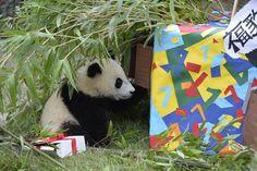 Happy Birthday! Little Panda Boy Fu Bao, Zoo Vienna, by Norbert Potensky, 14. August 2014