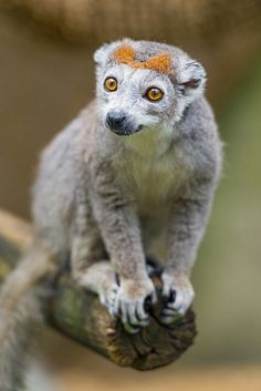 Crowned Lemur - These are primates, not marsupials... or plushies. Though this one could pass for a stuffed animal with a bow in it's hair!