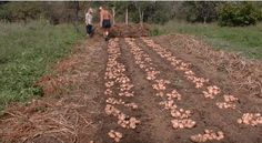 3-násobné výnosy a žiadne okopávanie: Záhradkár ukázal najjednoduchšiu metódu, ako na jar vysadiť zemiaky - výsledky vás ohromia!
