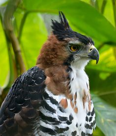 Ornate Hawk-Eagle (Spizaetus ornatus) | by Zakir Hassan