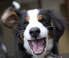 And the happiest smiles! | 23 Reasons Bernese Mountain Dogs Are The Champions Of Our Hearts